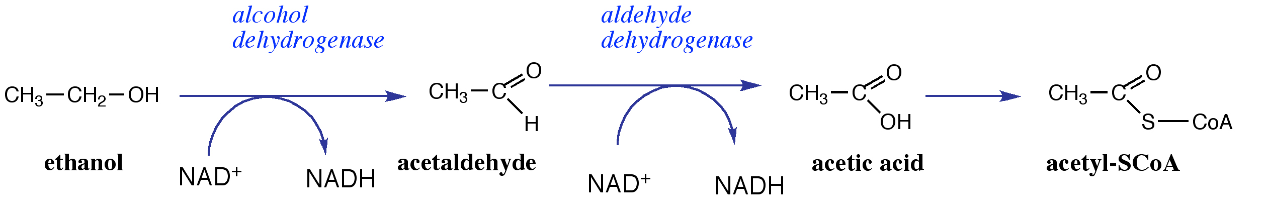alcohol dehydrogenase adh reaction The alcohol dehydrogenase (adh) 3 -hsd is also called dihydrodiol dehydrogenase this reaction sequesters the pre-bay dihydrodiols of polycyclic aromatic hydrocarbons away from their critical toxification pathway to the ultimate carcinogenic dihydrodiol bay-region epoxides to produce.