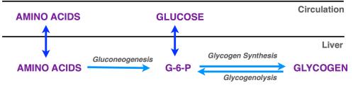 glucose_glycogen
